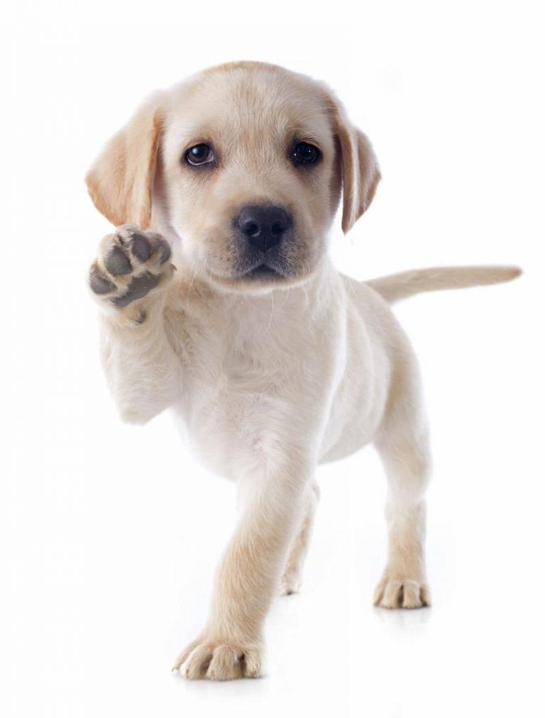mascotas la vinuela labrado homejpg